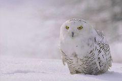 06- Snowly Owl NB