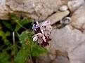 Anchusa variegata (11)