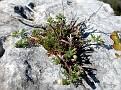 Anthemis peregrina subsp heracleotica (4)