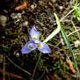 Moraea mediterranea, syn  Gynandriris monophylla (5)