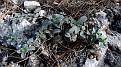 Helianthemum hymettium (3)
