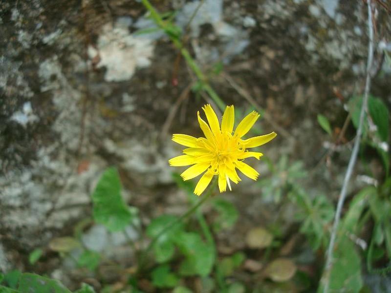 Aetheorrhiza bulbosa (1)