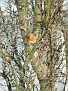 Erithacus rubecula