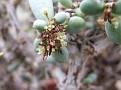 Ceraria pygmaea female plant