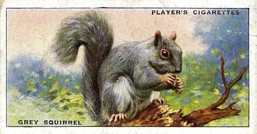 1939 Player's Animals of the Countryside #33 (1)