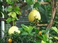 05-03-26-lemon