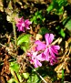 302198--Red-Campion