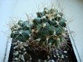 Turbinicarpus pseudomacrochele