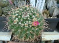 Mammillaria huiguerensis