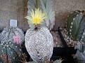 Astrophytum myriostigma Onzuka var  tricostatum