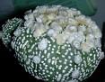 Astrophytum asterias cv ' HANAZONO '