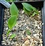 Whiteheadia bifolia