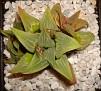 Haworthia mirabilis v. sublineata -S.Bredasdorp