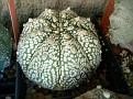 Astrophytum asterias cv  Super Kabuto Japanese selection