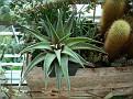 Haworthia cv 'Jade Star' -H koelmaniorum x H umbomboensis-