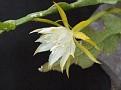 Epiphyllum anguliger CG 371