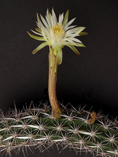 Cleistocactus laniceps