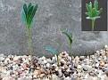 Eriospermum alcicorne Kinderlè