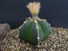 Astrophytum myriostigma fa. nudum