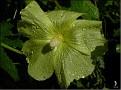 DSCN1477 Hibiscus eller Malva 05 08 12