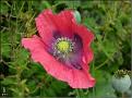 DSCN1385 Papaver somiferum 02 08 12