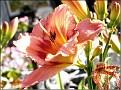 DSCN1495 Hemerocallis 'Strawberry Candy' 05 08 12