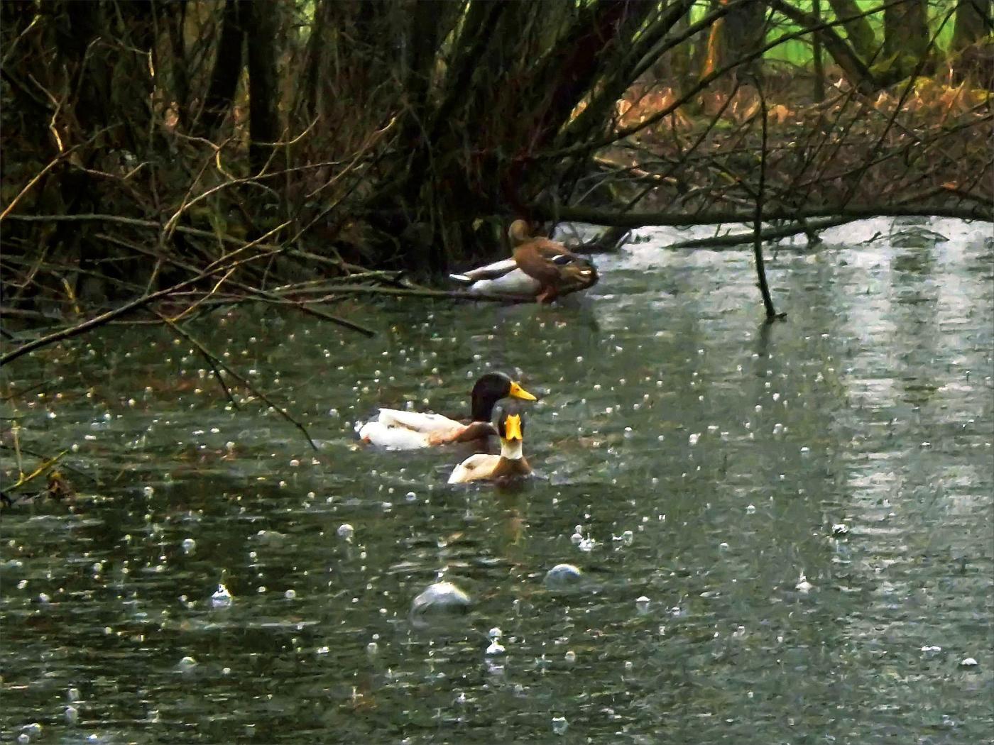 Sogar heftiger Regen kann die Enten nicht vertreiben.