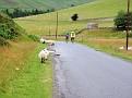 Sheeps, sheeps, sheeps