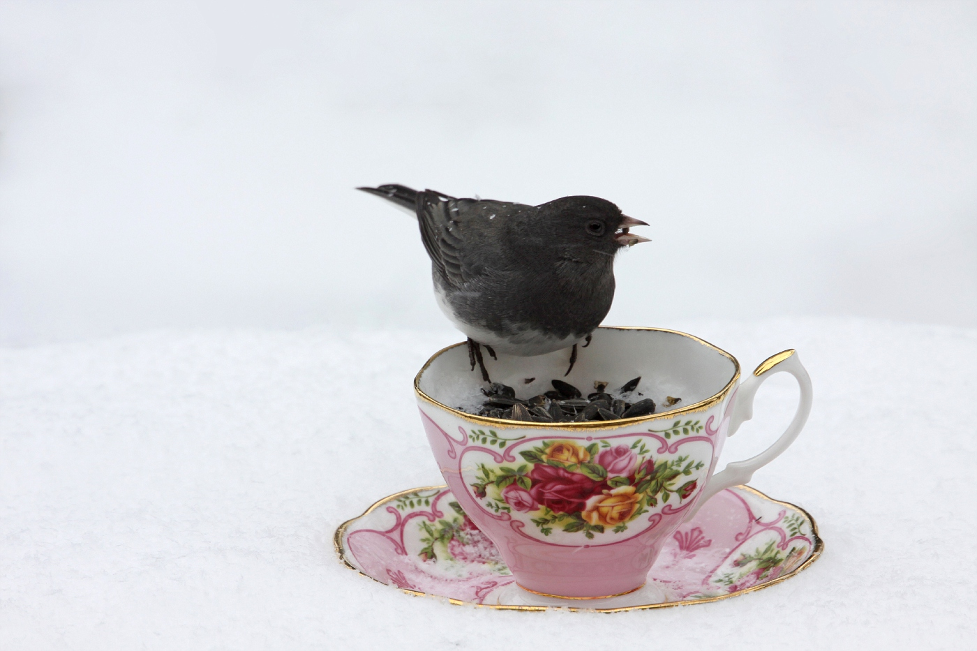 Junco at the Teacup Feeder