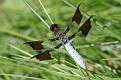 Common Whitetail #11
