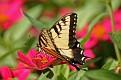 Summer Swallowtail Butterfly