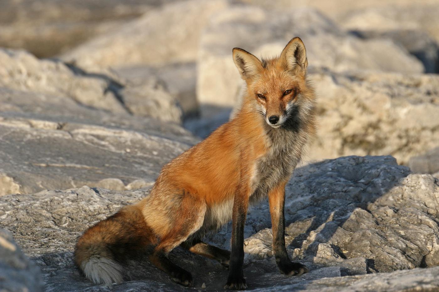 April Fox Series #17