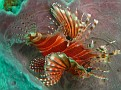 Lion Fish in a Spong