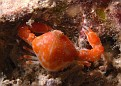 Little Red Crab