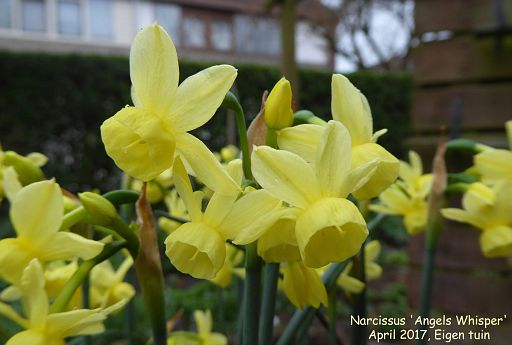 Narcissus 'Angel's Whisper'