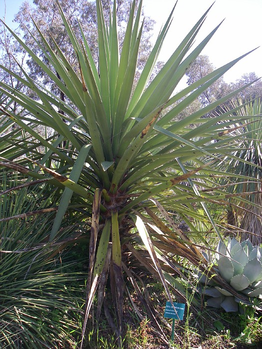 Photo yucca grandiflora jardin des oiseaux 054 jardin d 39 oiseaux tropicaux de la londe france - Jardin des oiseaux la londe ...