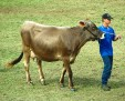 Brown Swiss Cattle 001