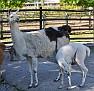 Калининград Лама Kaliningrad Zoo Lama DSC5772 035 2