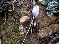 Crocus laevigatus (1)