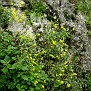 Aurinia saxatilis (4)