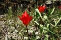Tulipa agenensis (10)