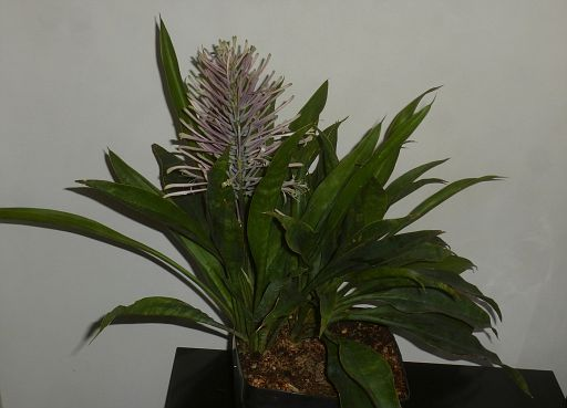 Sansevieria concinna Pf collection (2)