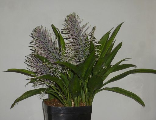 Sansevieria concinna Pf collection (14)