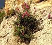 Centranthus ruber (1)