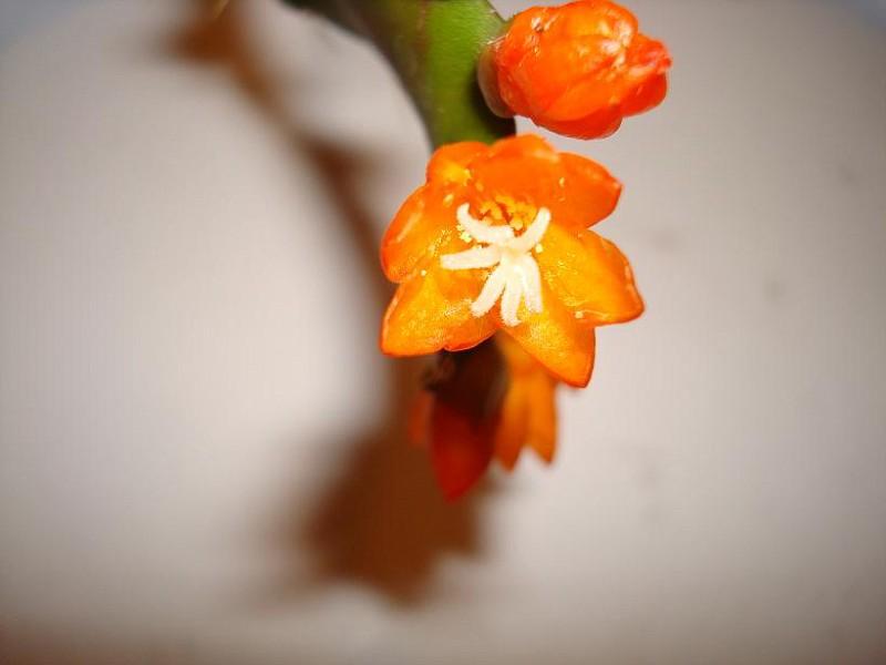 Lepismium monacanthum