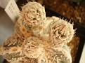 Astrophytum myriostigma HAKUJYO FUKURYU RANPOU