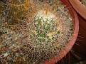 Mammillaria rekoi ssp  leptacantha
