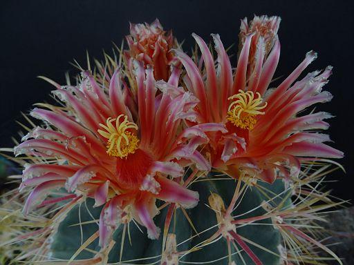 Echinocactus grusonii var. subinermis