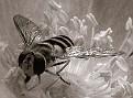 muchowka/eupeodes luniger (syrphidae) samiczka/female