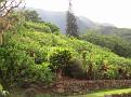 Kilauea - Pili Rd07.JPG